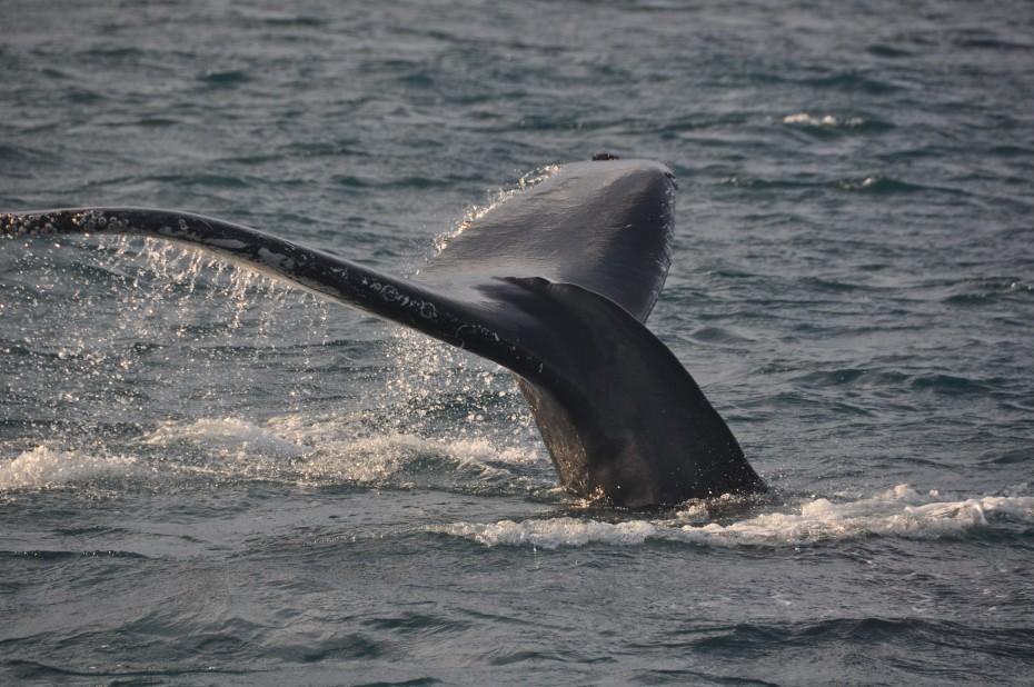 Walvis bij Bereneiland
