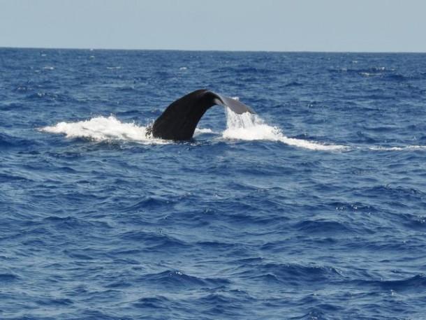 Kaap Verden walvis