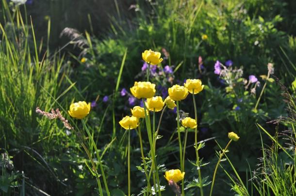 Flowers Lofotes