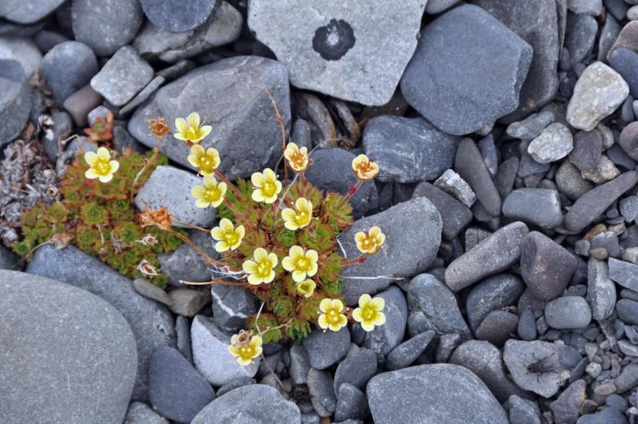 bloemen-spitsbergen