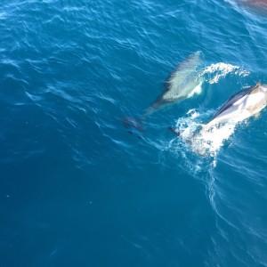 dolfijnen-golf van biskaje