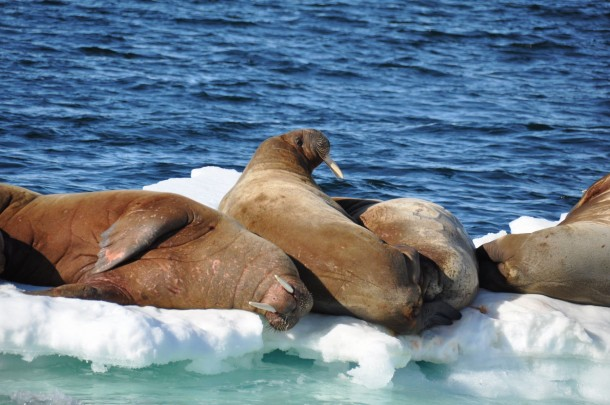group of walrusses Svalbard