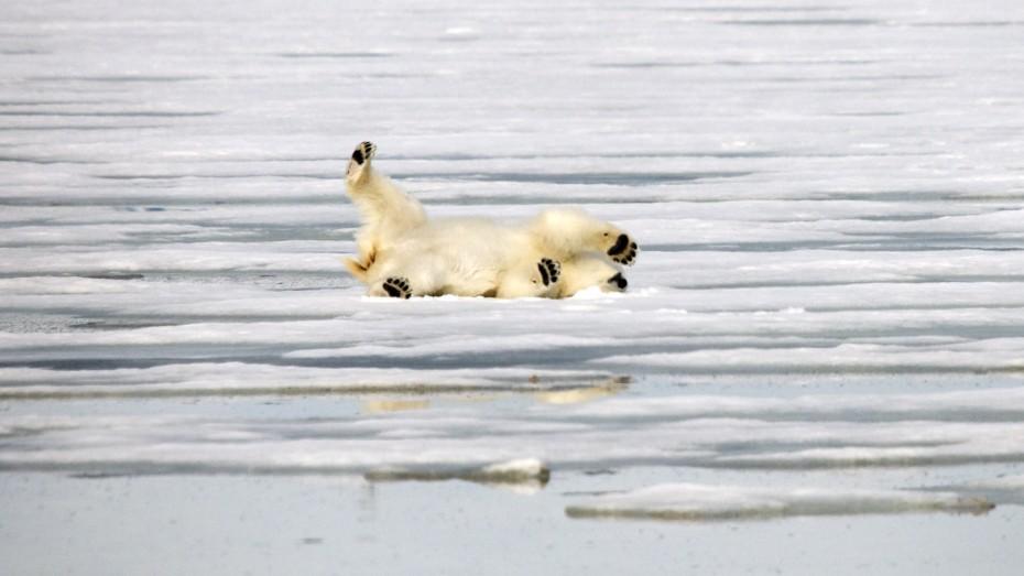 spelende ijsbeer Mushamna Spitsbergen