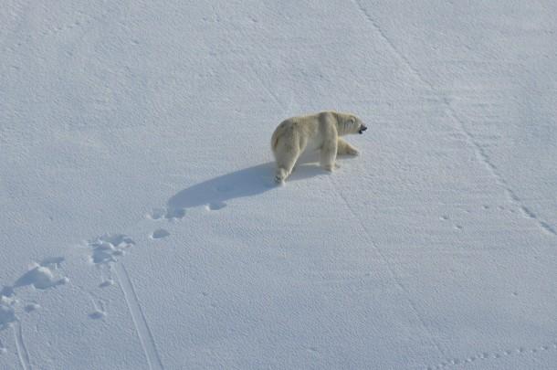 walking polar bear Svalbard