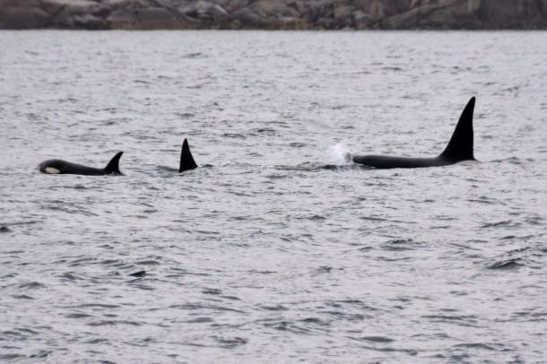 killer whales in Lofoten