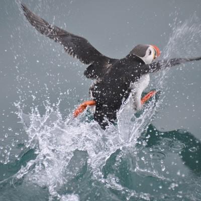 Papageientaucher Spitzbergen