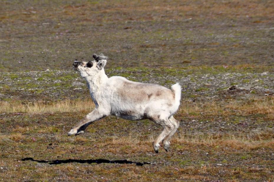 rendier-spitsbergen