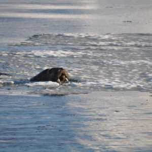rustende-walrus-svalbard