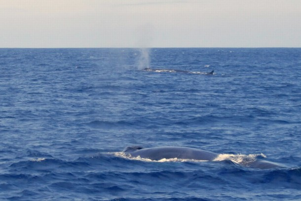 Finwhales Bay of Biscay