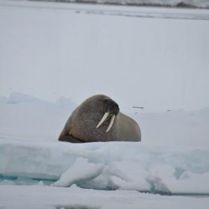 walrus op drijfijs-svalbard