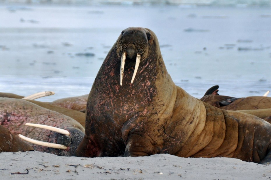 walrus-spitsbergen