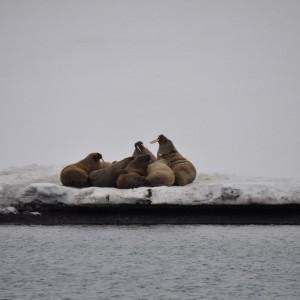 walrussen-svalbard