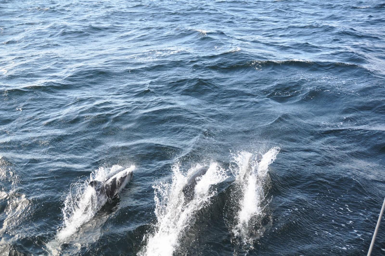 dolfijnen-beagle-kanaal