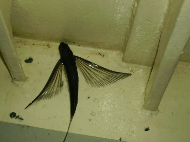 vliegende vis pacific