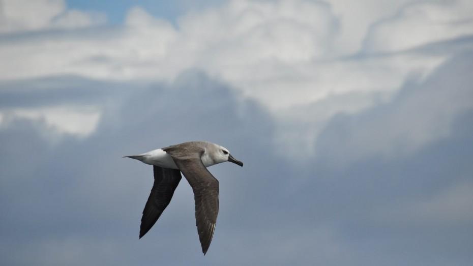 wenkbrauw-albatros-drake-passage