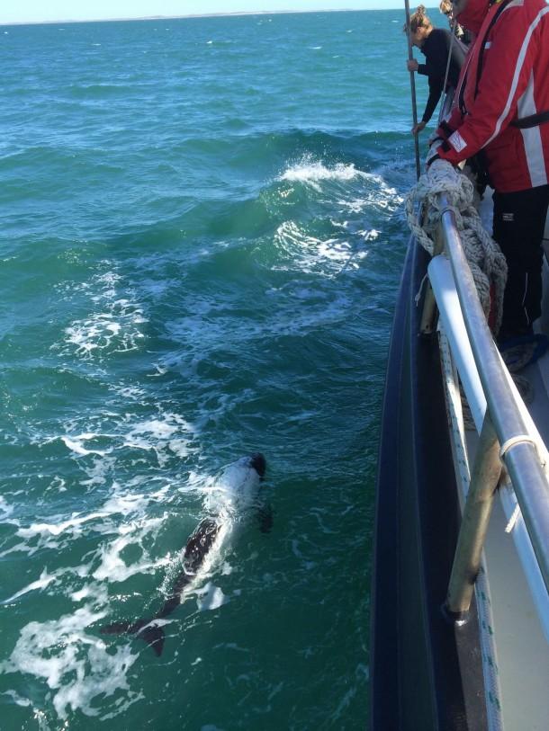 commerson delfins