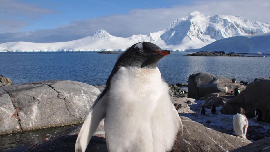 gentoo kolonie antarctica