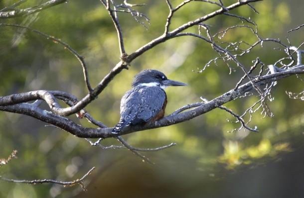 kingfisher patagonia