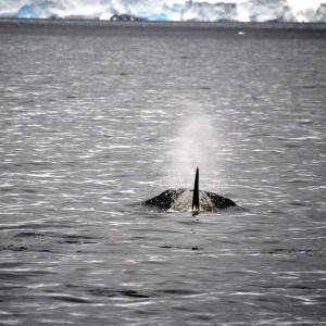 orka bij melchior island