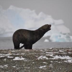 pelsrob jong Antarctica