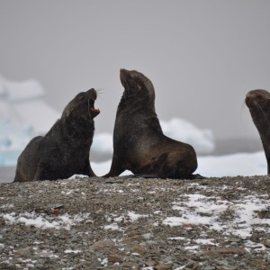 pelsrobben Antarctica