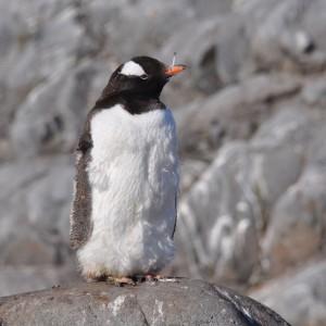 pinguin met veertje
