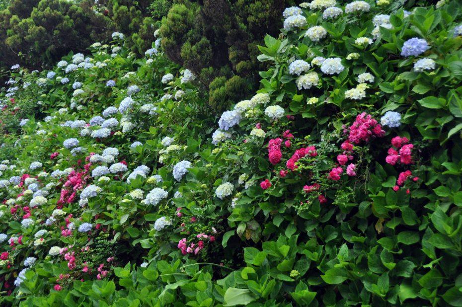 hortensia horta (1)