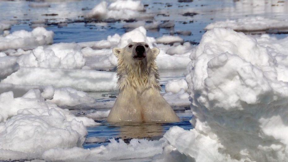 ijsbeer-Harstad-bereneiland