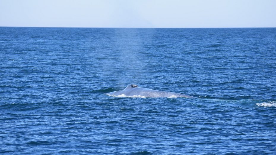 Blue whale aside of the Anne-Margaretha – kopie