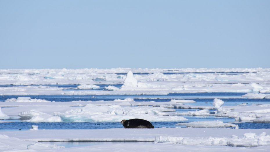 noordelijke ijszee baardrob