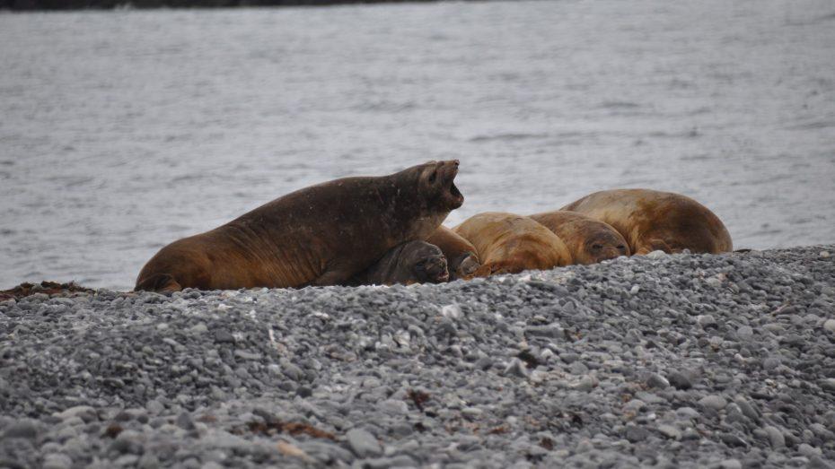 zeeolifanten yankee harbour