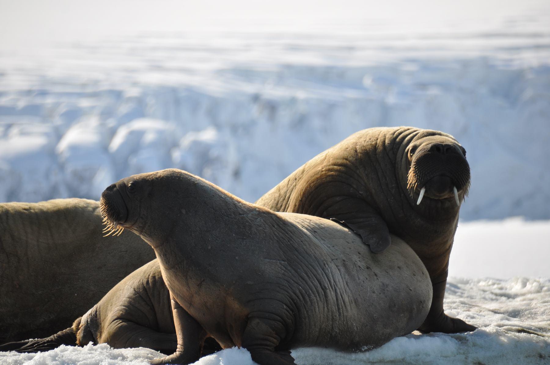 walrussen bij anne-margaretha