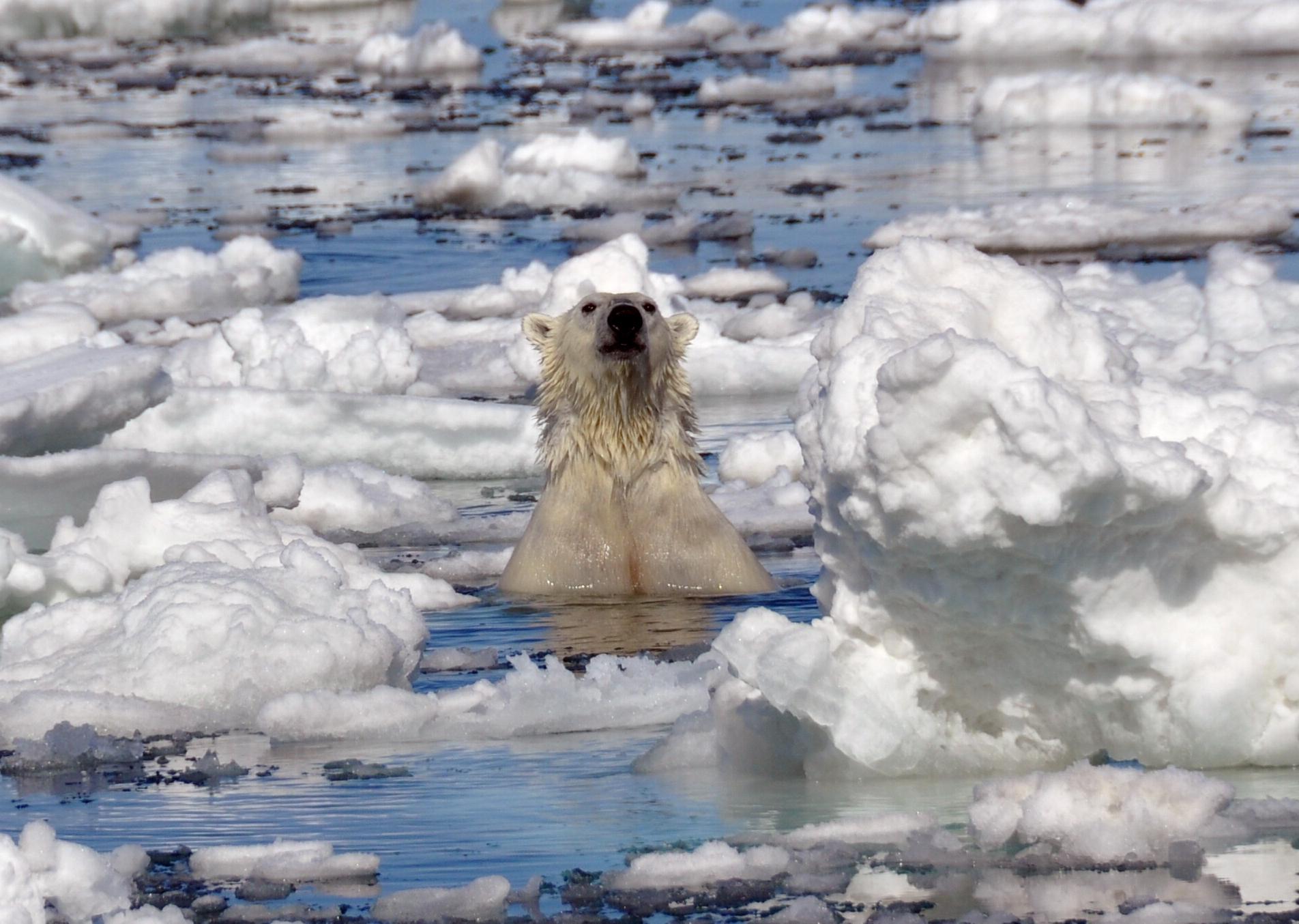 Spitsbergen ijsbeer